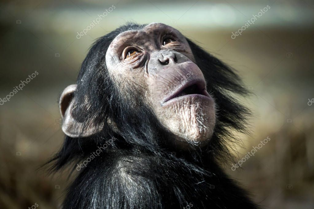 Chimpanzee in nature habitat