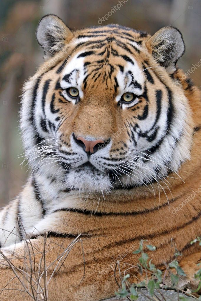 male asian tiger
