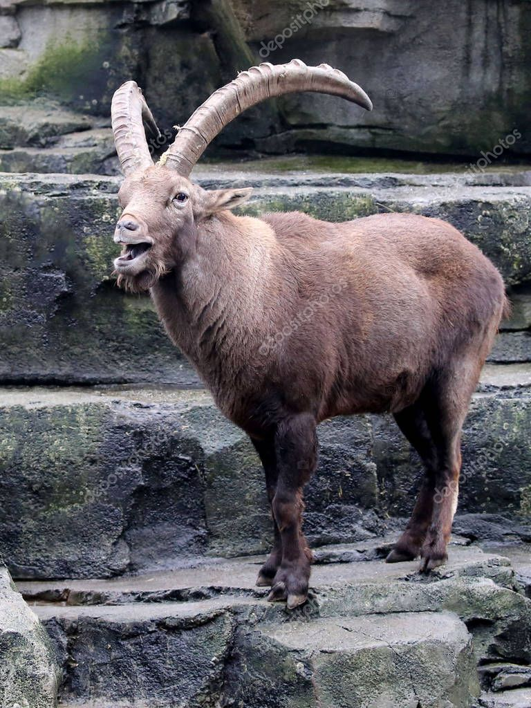 goat Alpine ibex