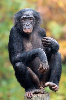 Bonobo monkey in nature habitat