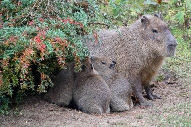 Capybara mother with babys
