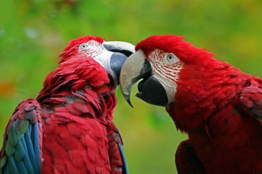 beautiful parrots Macaw