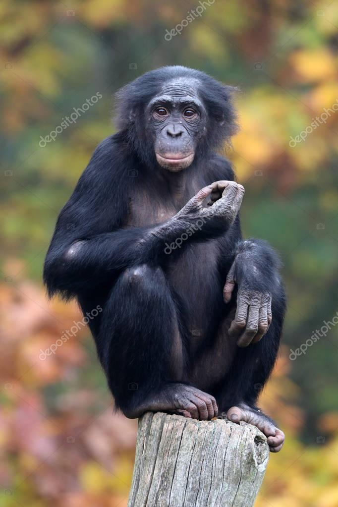 Bonobo monkey in nature habitat