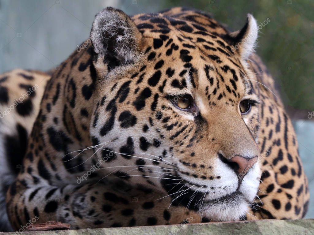 close up of Jaguar