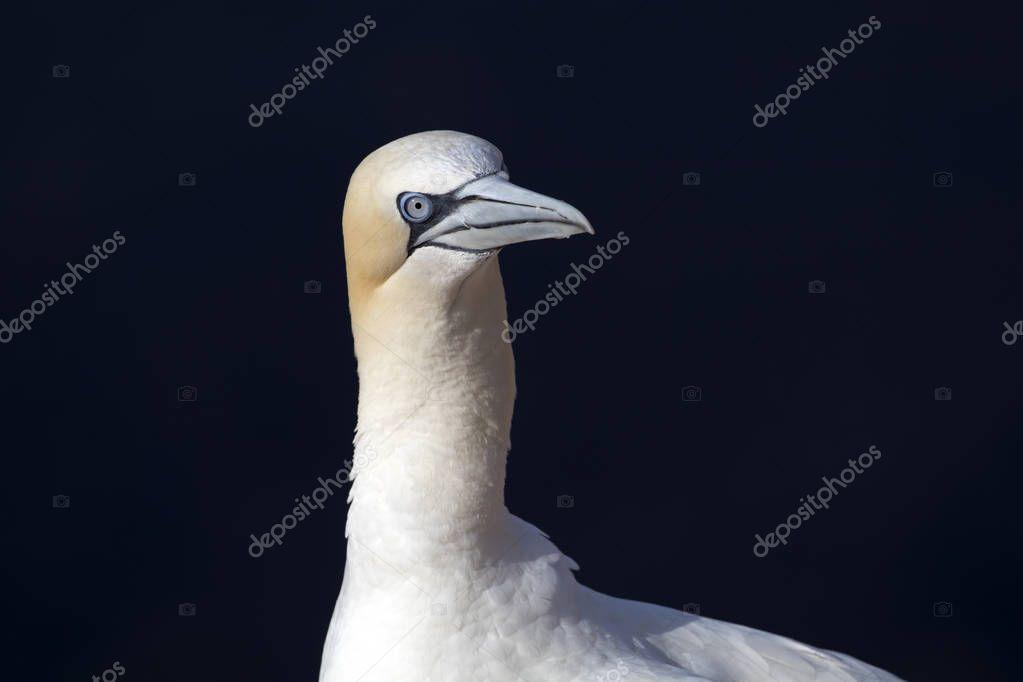 Northern gannet in wild nature