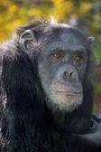 Wilder Schimpanse in der Natur