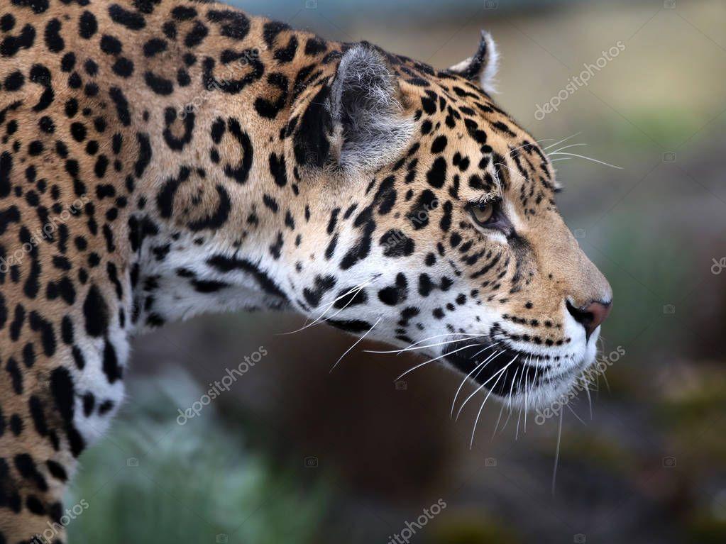 wild Jaguar in nature