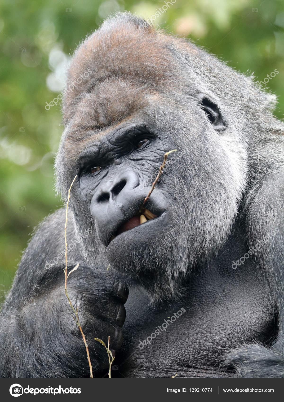 Gut gemocht gorille dos argenté mâle — Photo #139210774 LQ43
