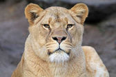 Photo beautiful african Lioness