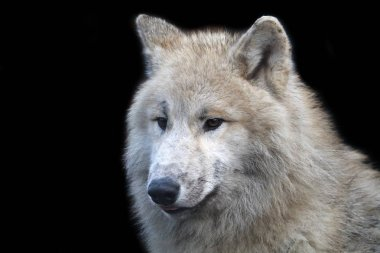 predator, White wolf