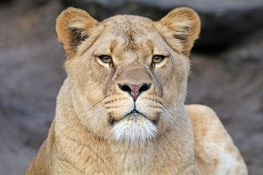 beautiful african Lioness