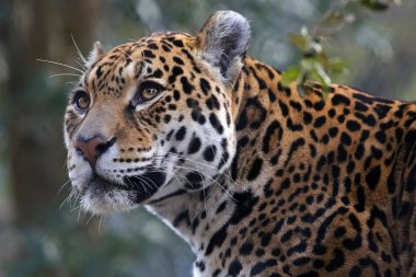 big male Jaguar