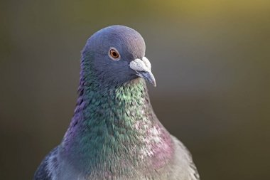 wild Pigeon in nature