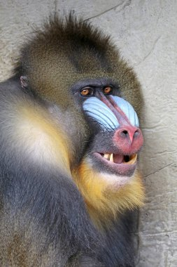 photo of Mandrill in nature
