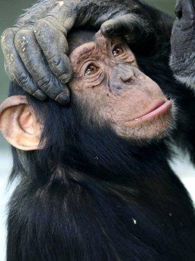 Chimpanzee on parent paws
