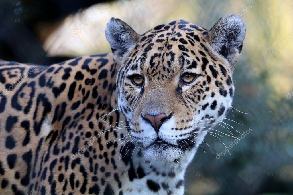 adult jaguar at zoo