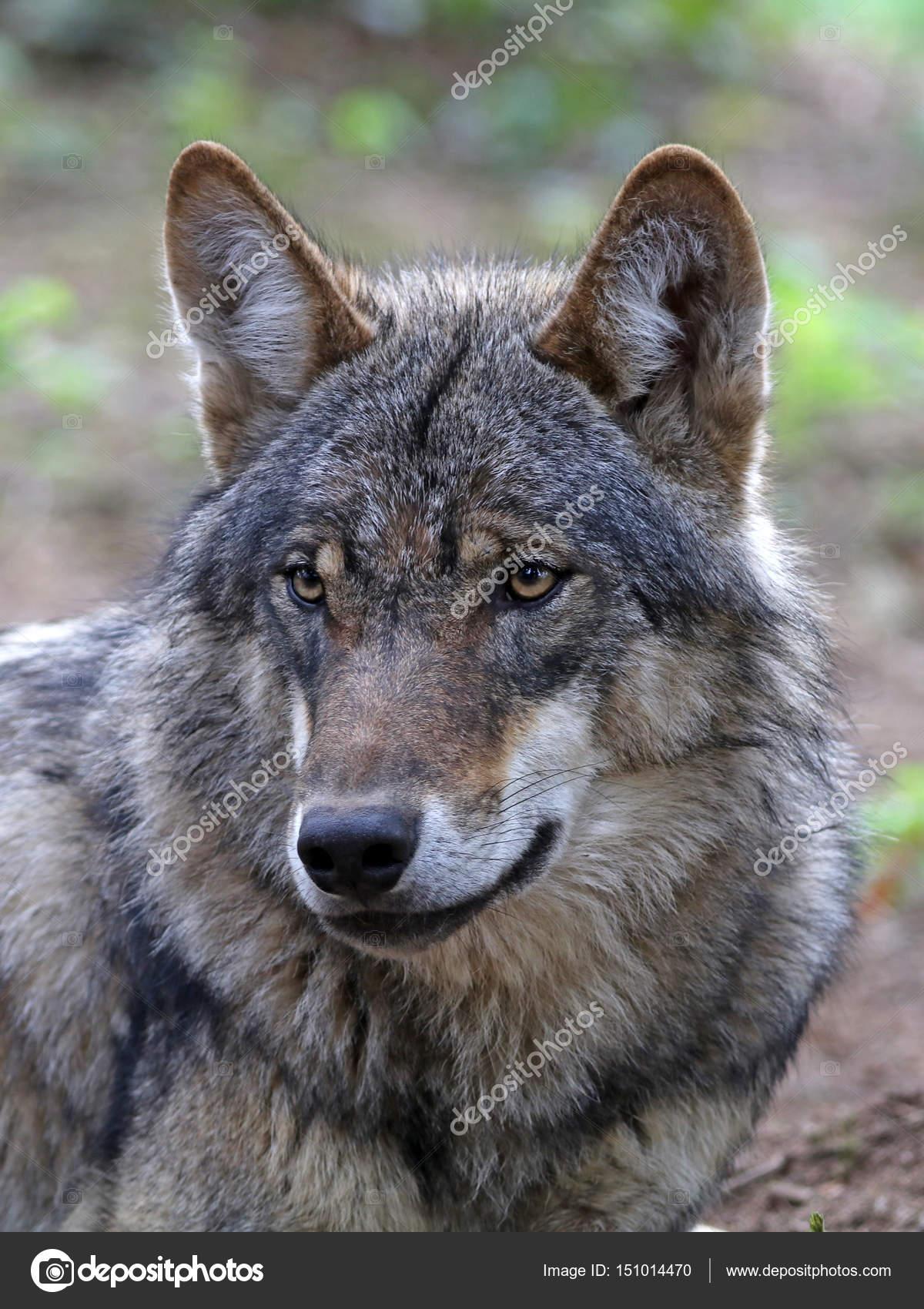 Imágenes De Lobos Salvajes Lobo Salvaje De Eurasia Foto De