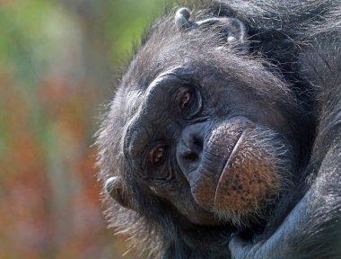 cute African Chimpanzee