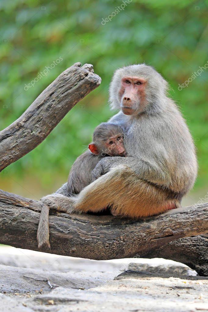Baboon animal family