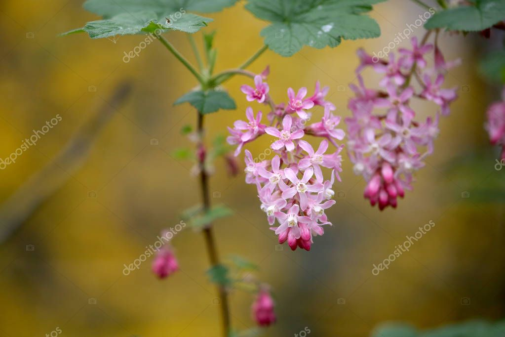 Ribes flowering plants