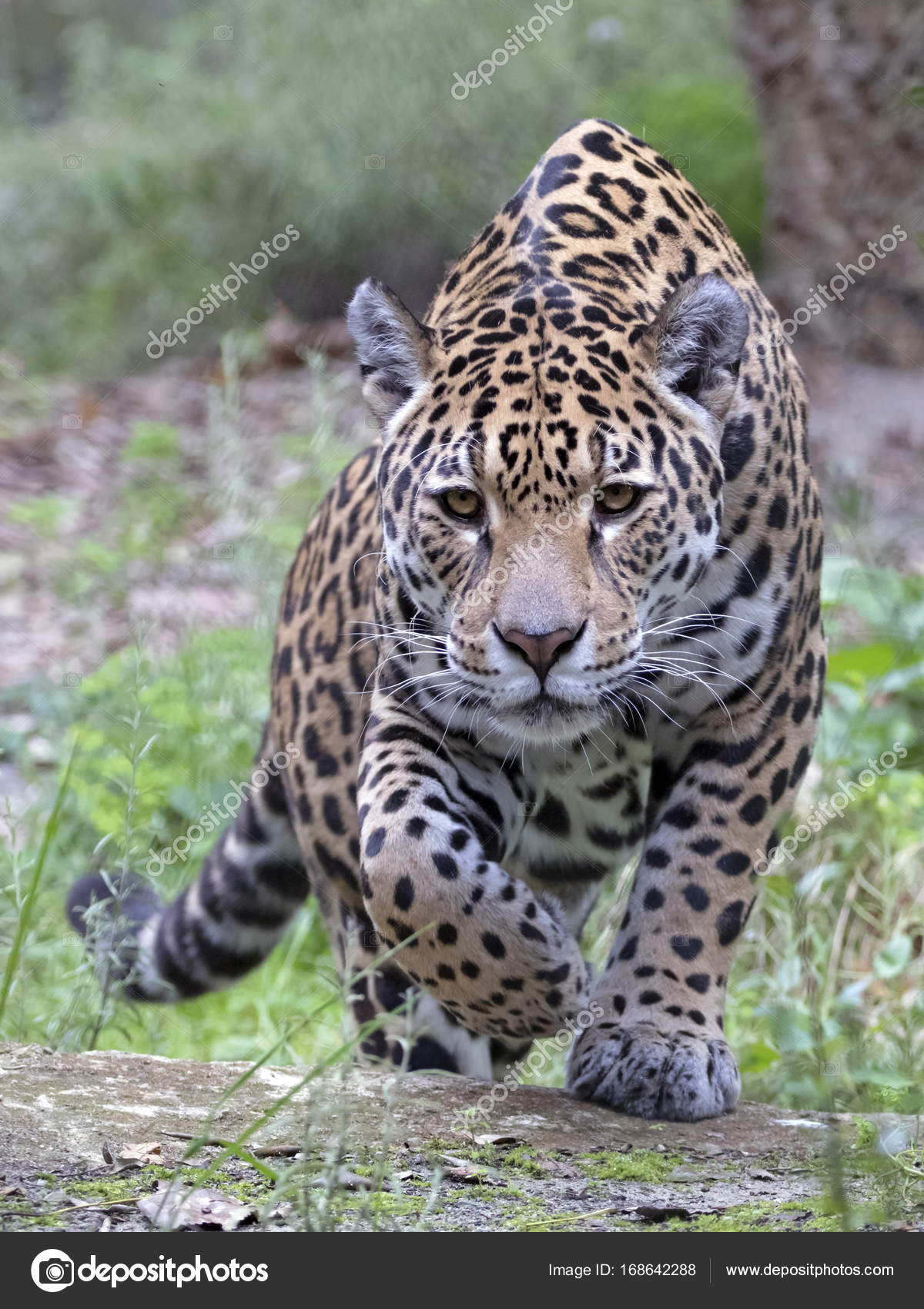 Lovely Animal Selvagem Jaguar U2014 Fotografia De Stock