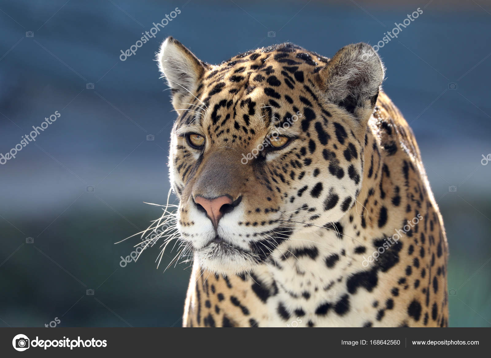 Charming Animal Selvagem Jaguar U2014 Fotografia De Stock