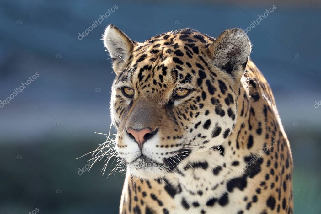 animal sauvage de jaguar — photographie ebfoto © #168642560