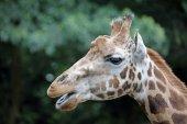 Fényképek Felnőtt zsiráf állat