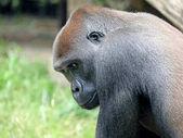 Male gorilla animal
