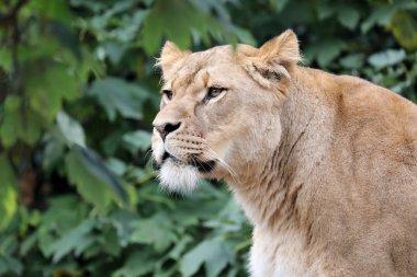 Adult Lioness roars