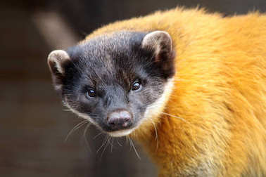 Yellow throated marten close up