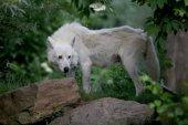 Hudson Bay Wolf animal in nature habitat
