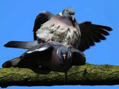 Common wood pigeons sitting on branch