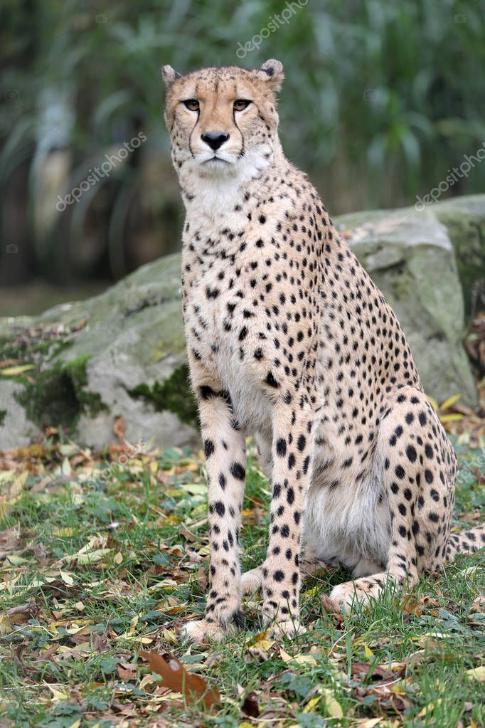Adult wild cheetah, close up