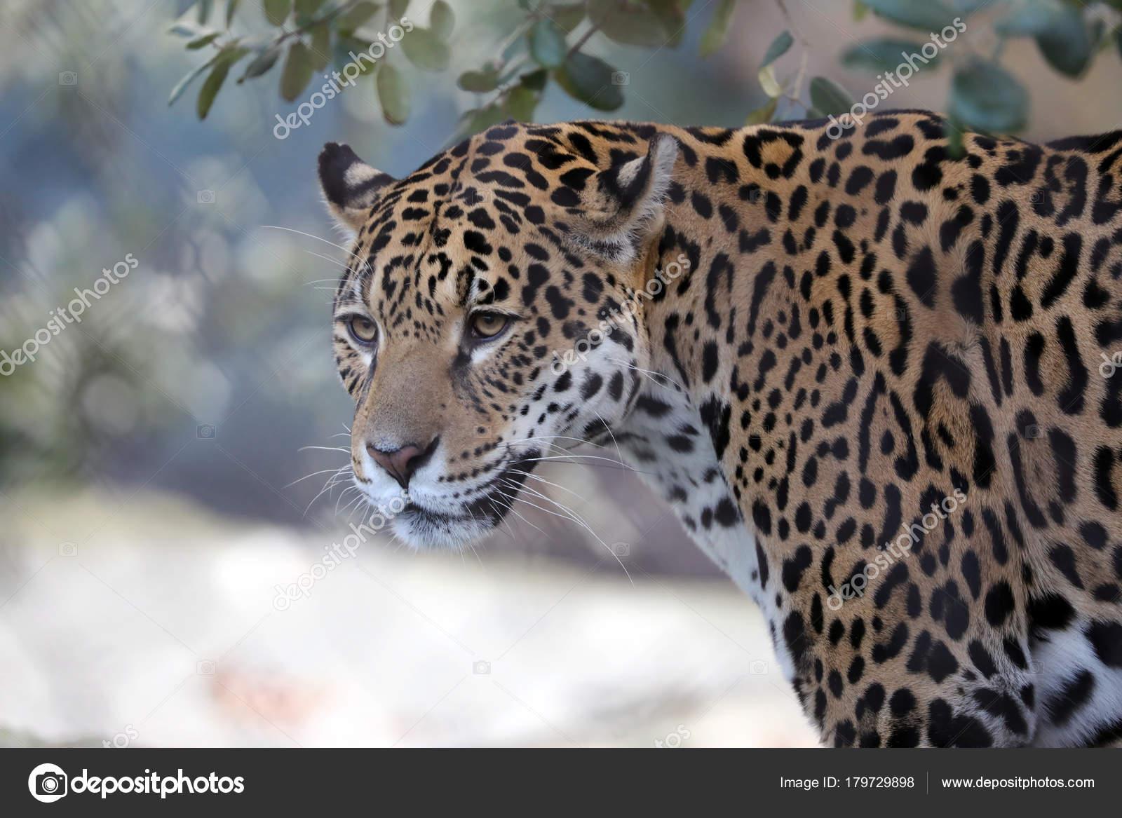Animal De Jaguar Close Up No Fundo U2014 Foto De EBFoto