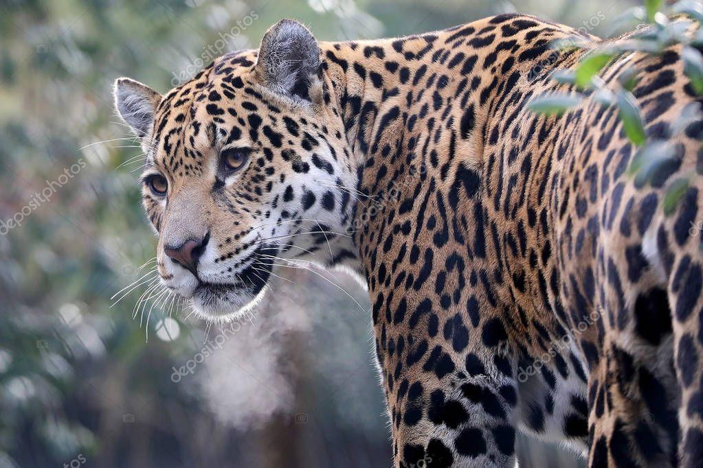 jaguar dier close achtergrond — stockfoto © ebfoto #179729852