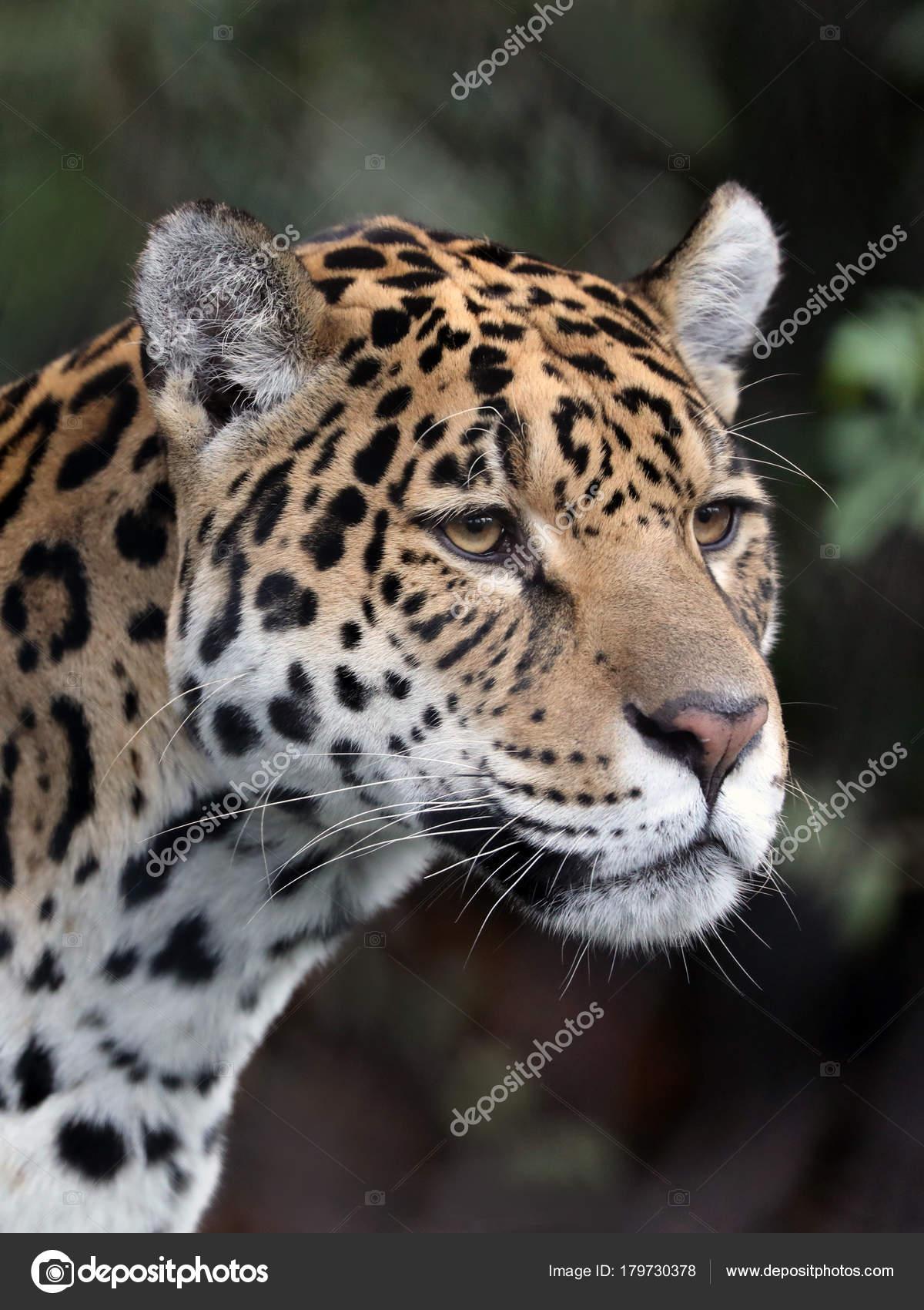 Animal De Jaguar Close Up No Fundo U2014 Fotografia Por EBFoto