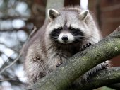 Raccoon animal on a tree  on background