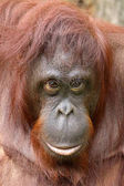 Fotografie Orangutan close-up portrait on background