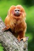 Goldener Löwe Tamarin über die Natur