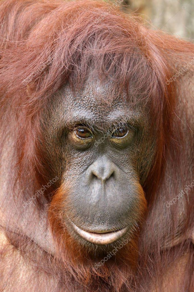 Orangutan close-up portrait on background