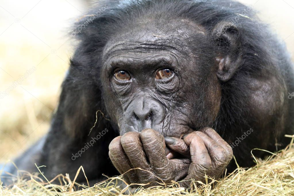 Adorable Bonobo portrait on background
