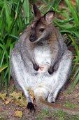 Fotografia Wallaby dal collo rosso su fondo
