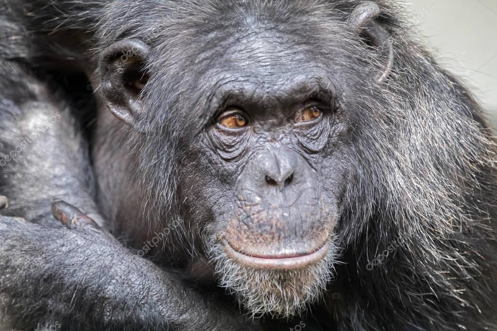 Chimpanzee animal on background
