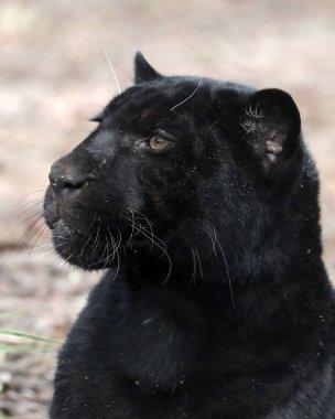 black Panther close-up portrait on nature