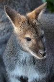 Fotografia Wallaby dal collo rosso in habitat naturale