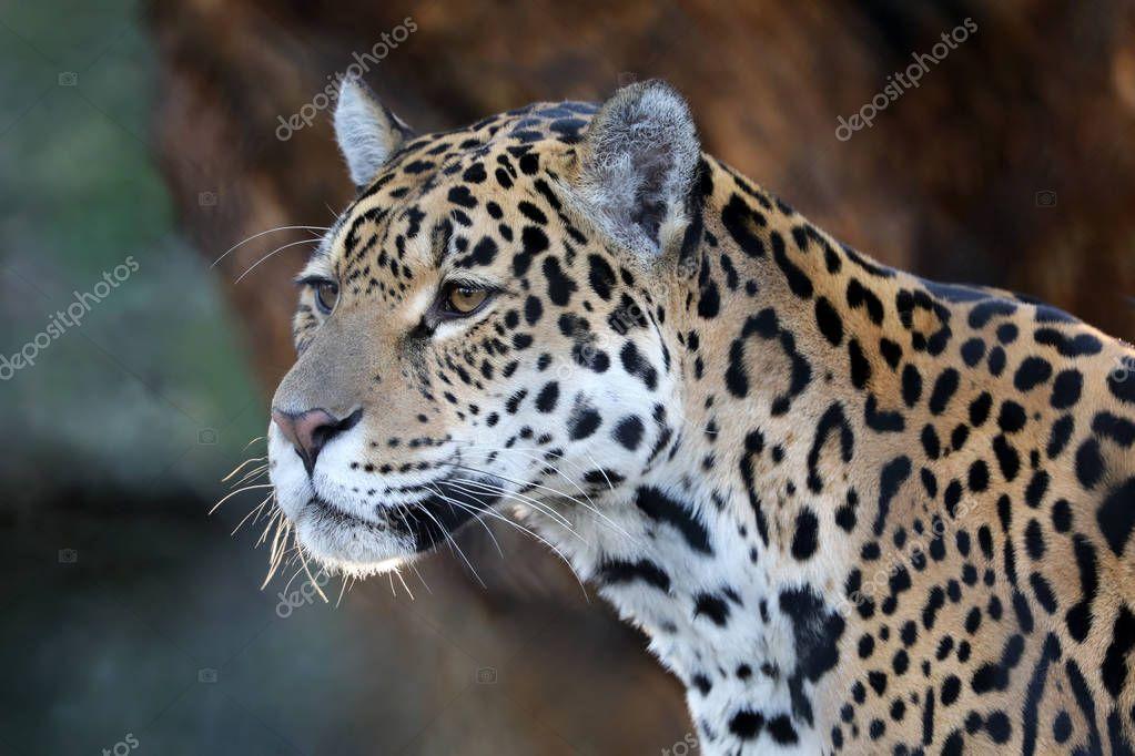 Predator Jaguar animal in natural habitat