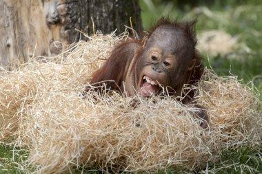 Cute Orangutan baby close up shot