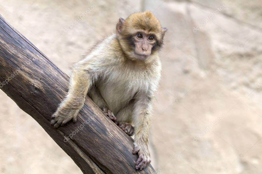 A Barbary Monkey close up shot