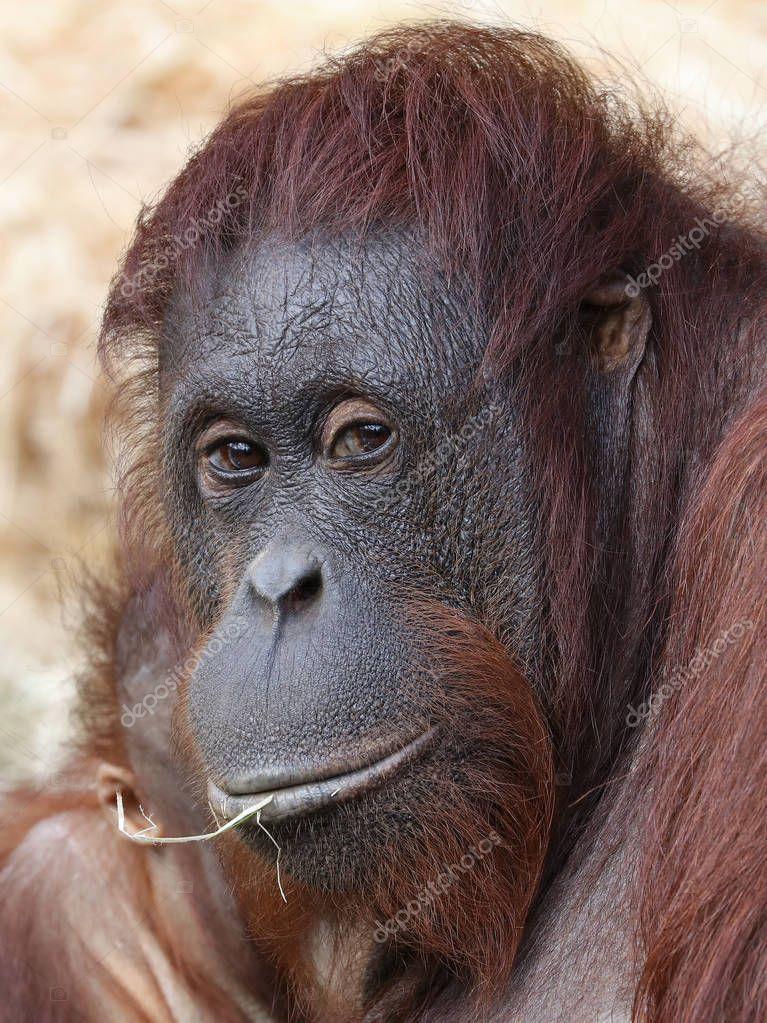 Orangutan close up shot